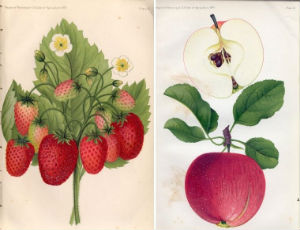 Watercolors of fruits from 1890 Source: U.S. Dept. of Agriculture Annual Report