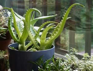 Houseplant in window