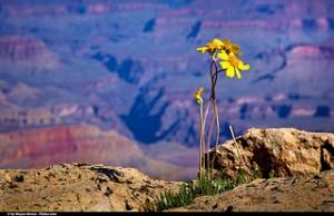 Grand Canyon daisy Source: Moyan_Brenn Flickr.com