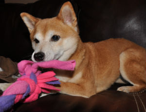 Dog with tug toy