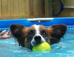 A dog in a pool with a tennis ball in its mouth
