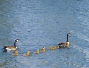 Goslings at Wolf Lake, Chicago